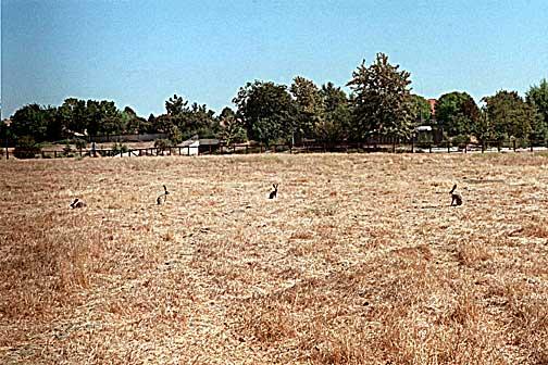 Jackrabbits in Fenced Habitat Area